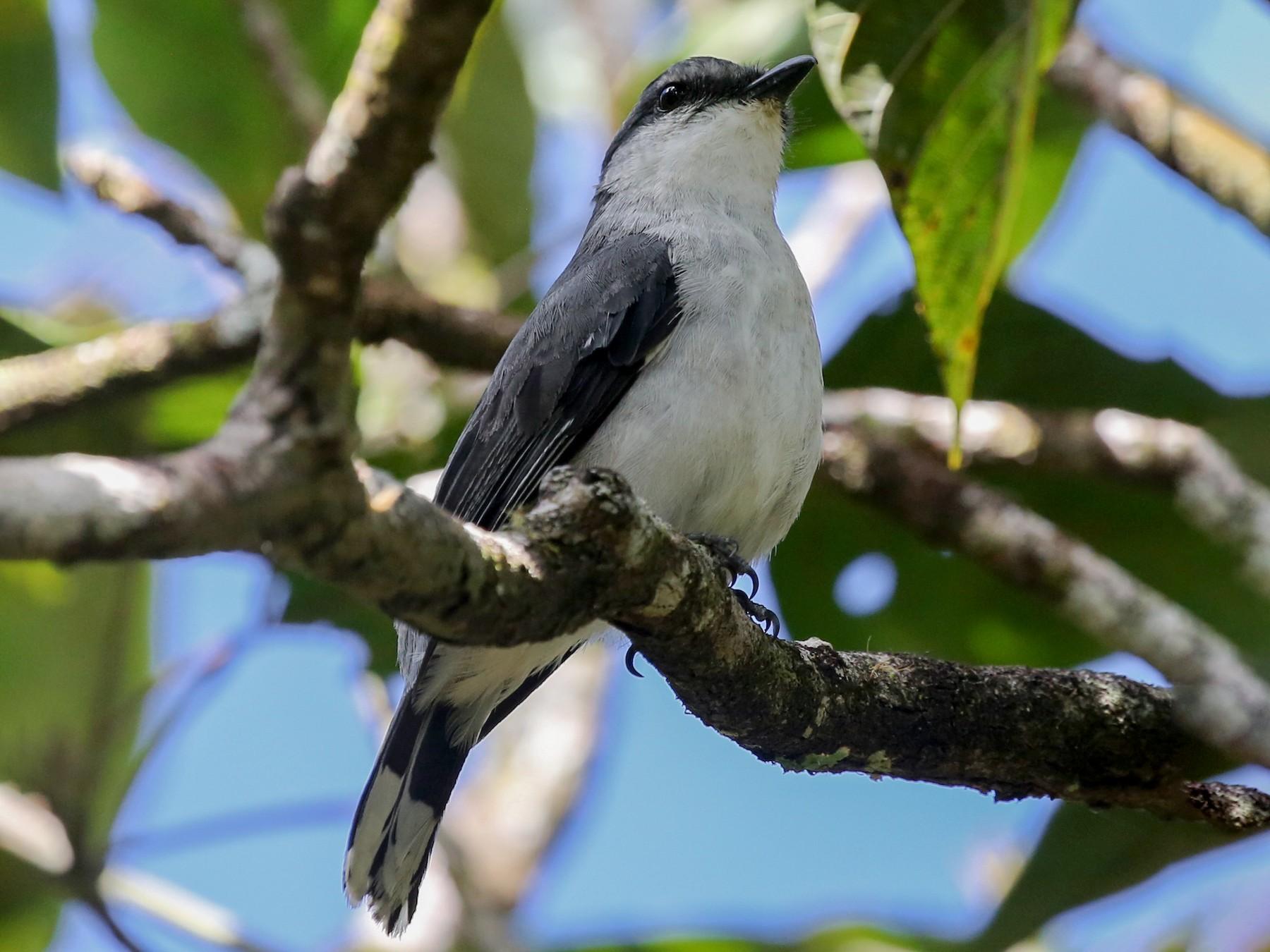 Mauritius Cuckooshrike - Steve James