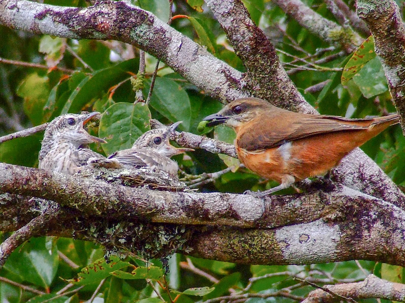 Mauritius Cuckooshrike - Shane McPherson