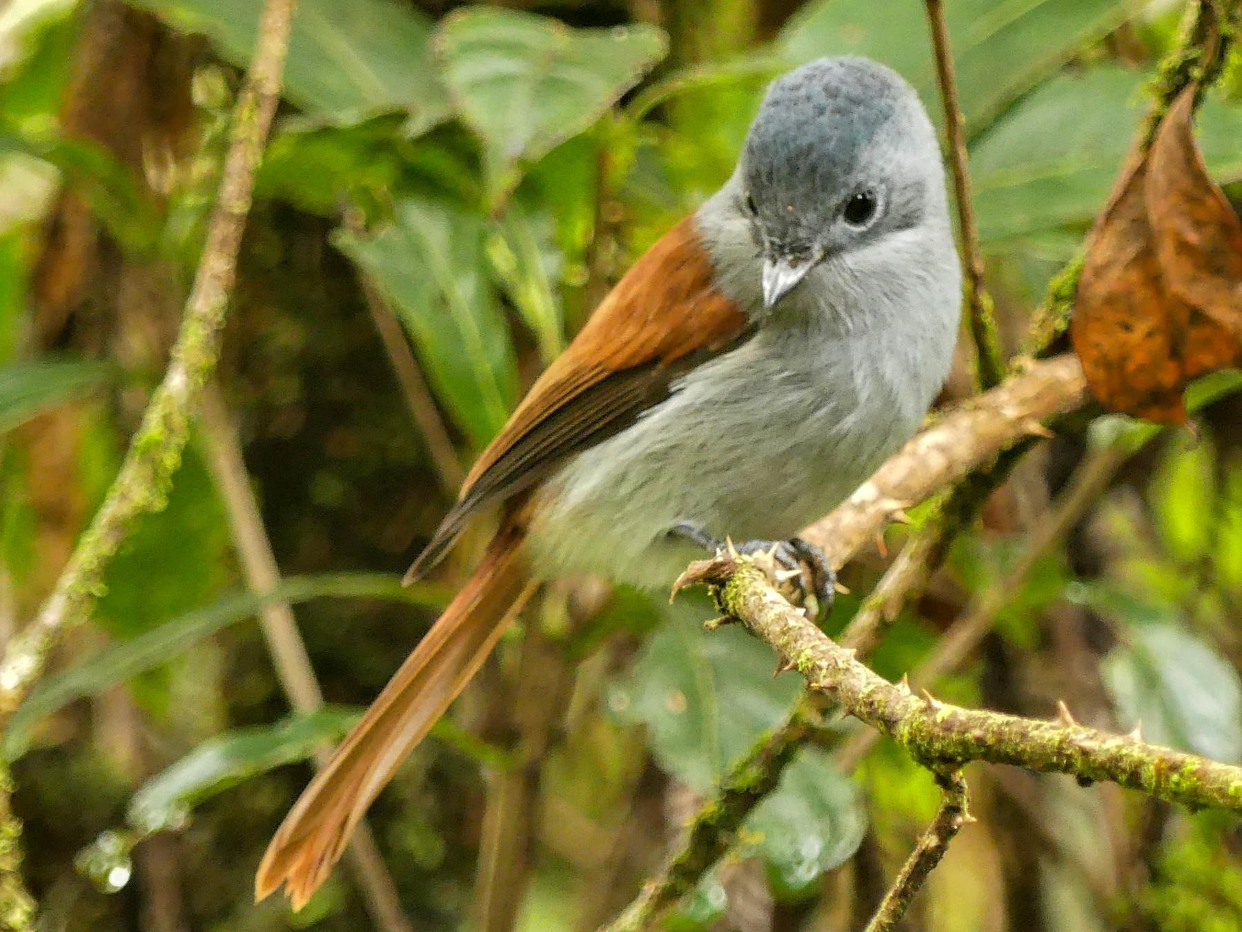 Mascarene Paradise-Flycatcher - Odile Maliet