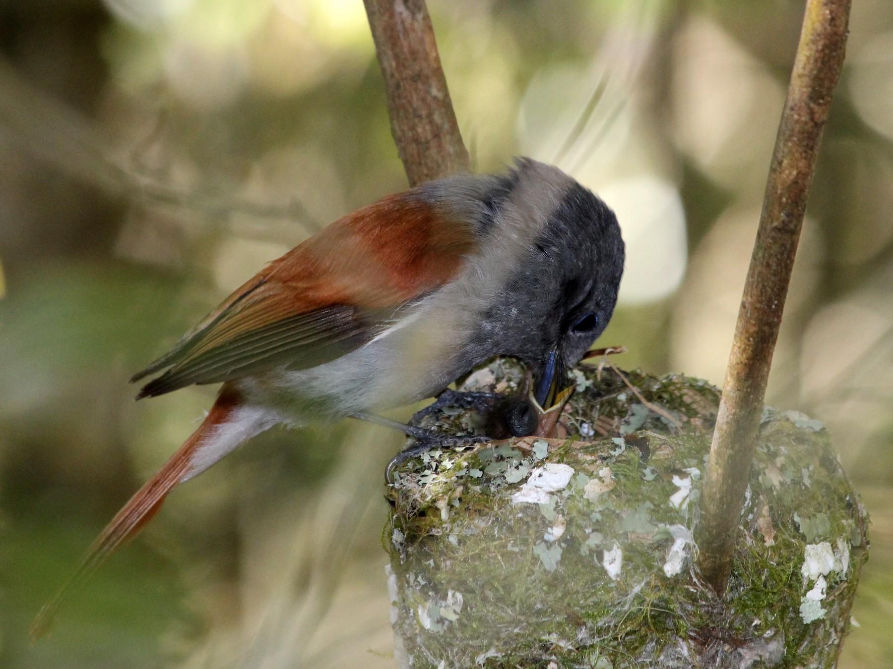 Mascarene Paradise-Flycatcher - Manuel Schwarz