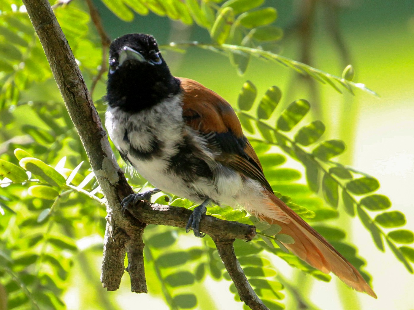 Seychelles Paradise-Flycatcher - Oscar Campbell