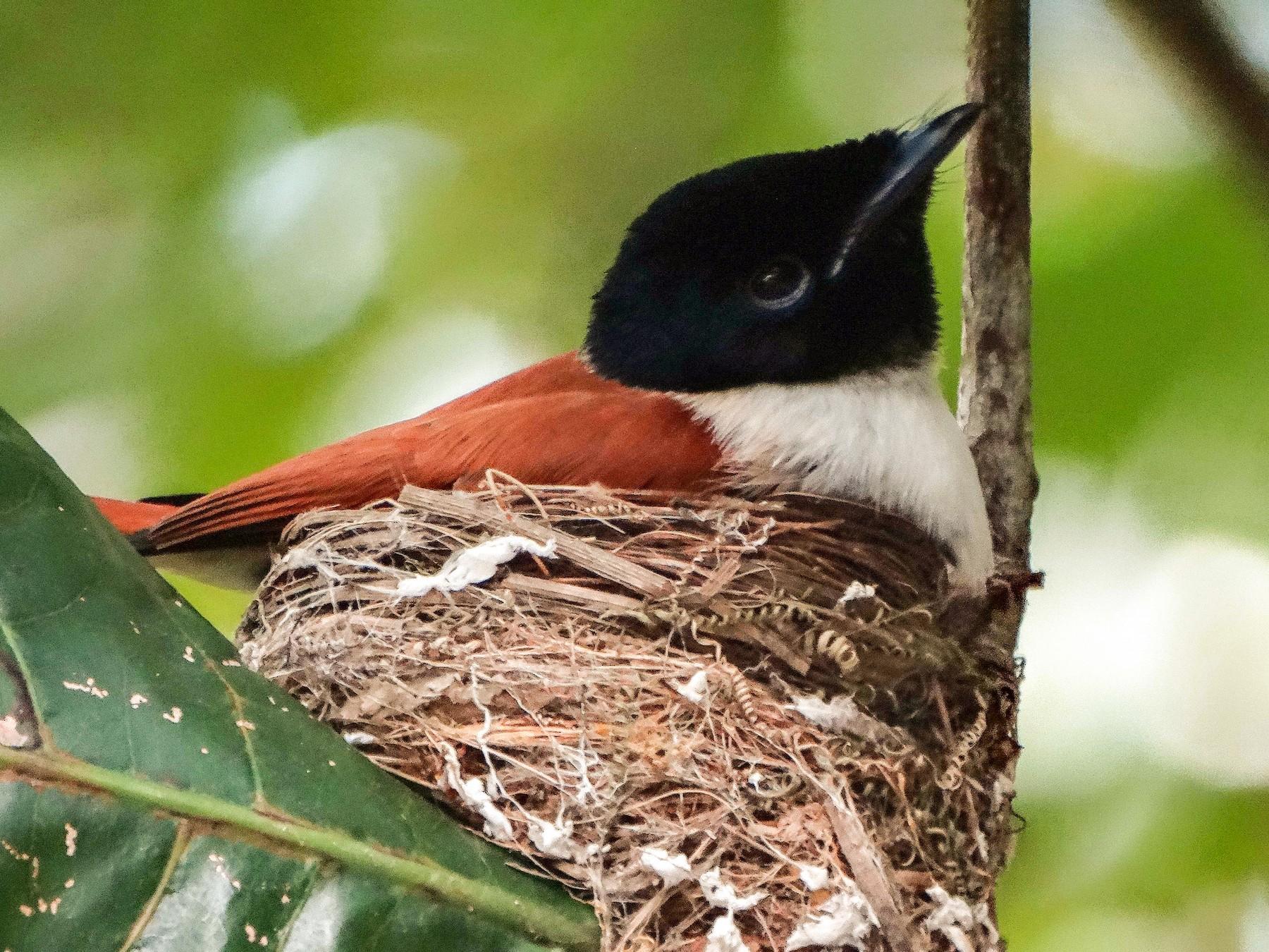 Seychelles Paradise-Flycatcher - Paul Bartlett
