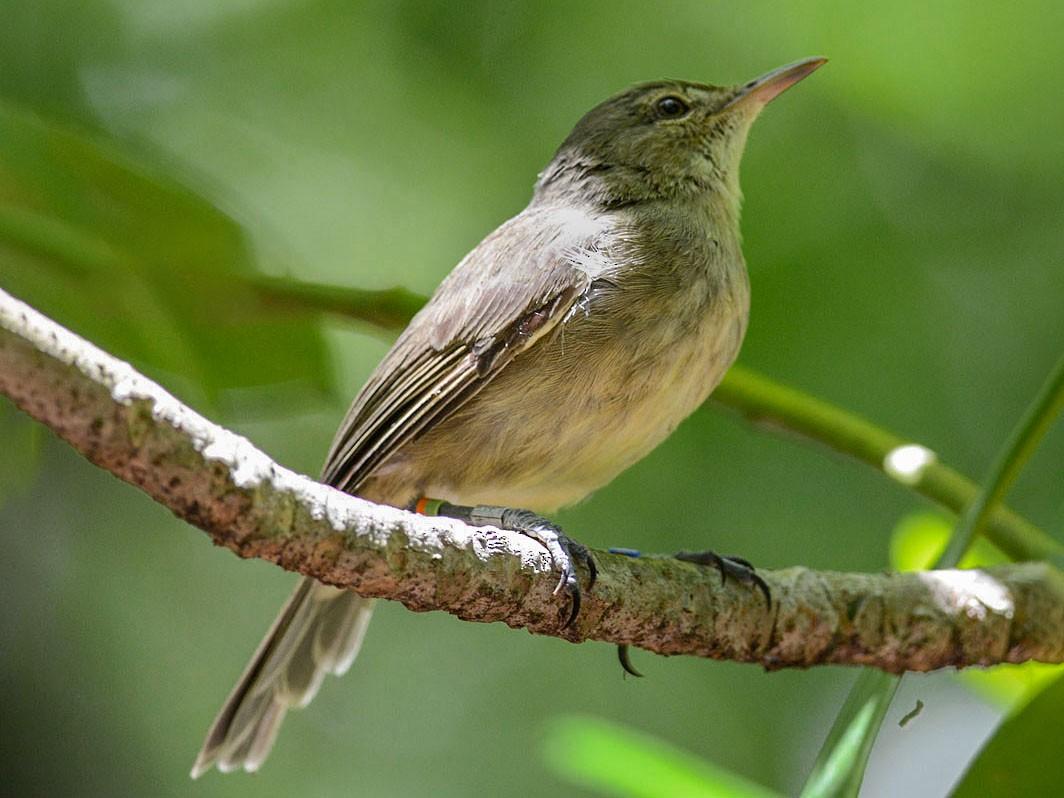Seychelles Warbler - Mark Van Beirs