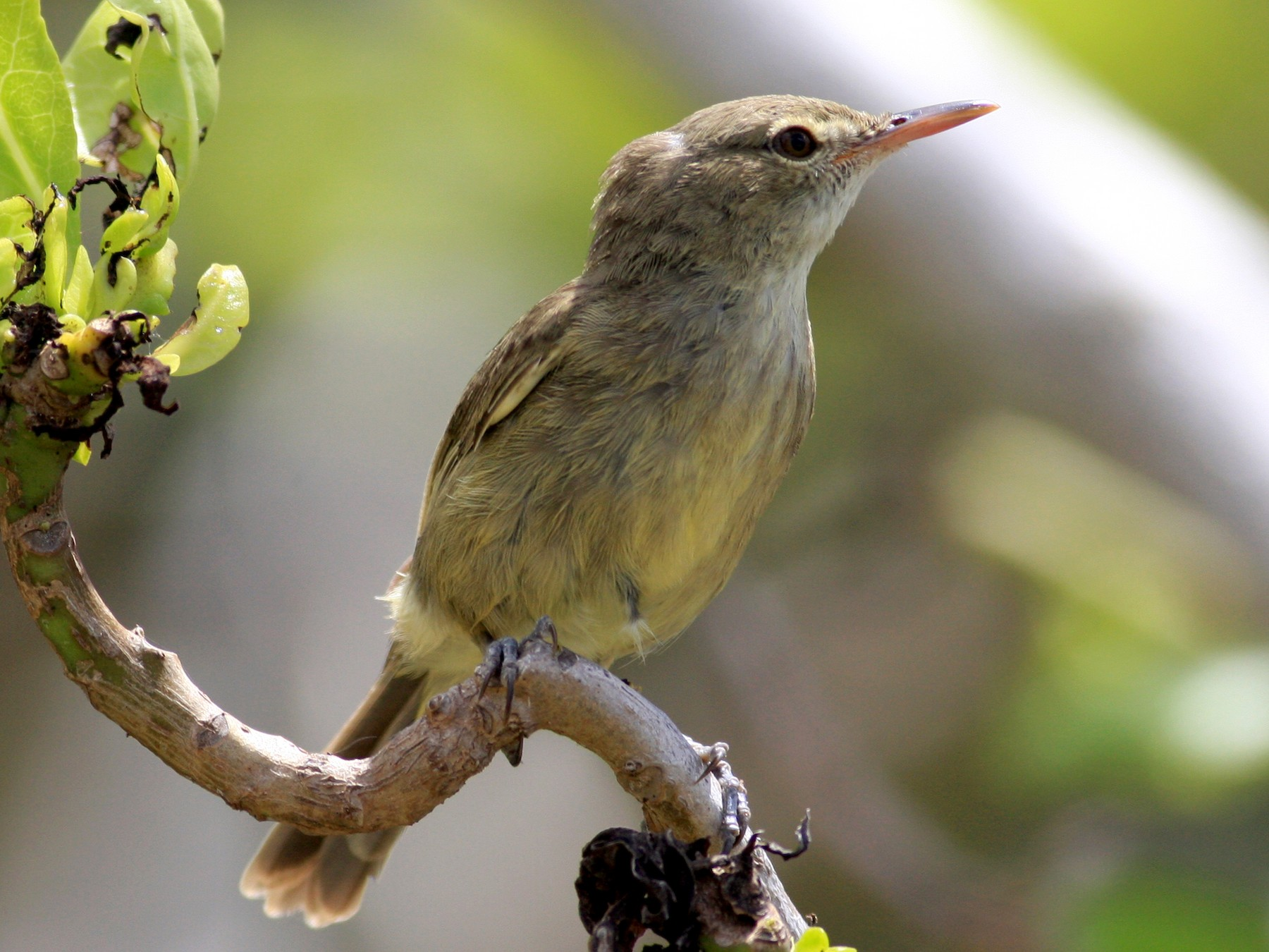 Seychelles Warbler - Oscar Campbell