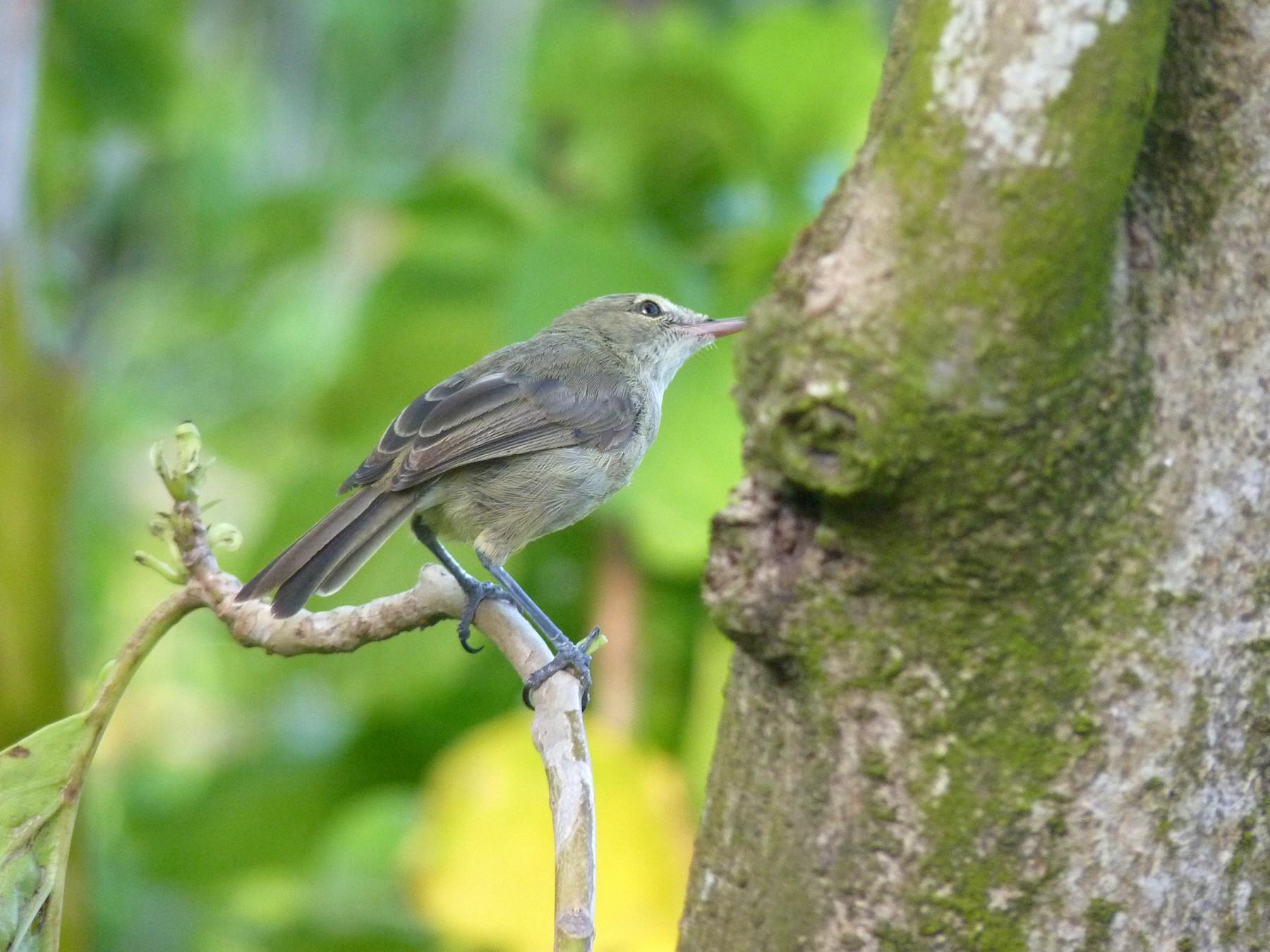 Seychelles Warbler - Tom Lansley