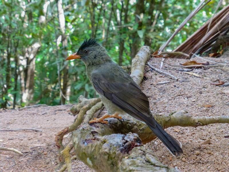 Seychelles Bulbul - Robin Duska Huff