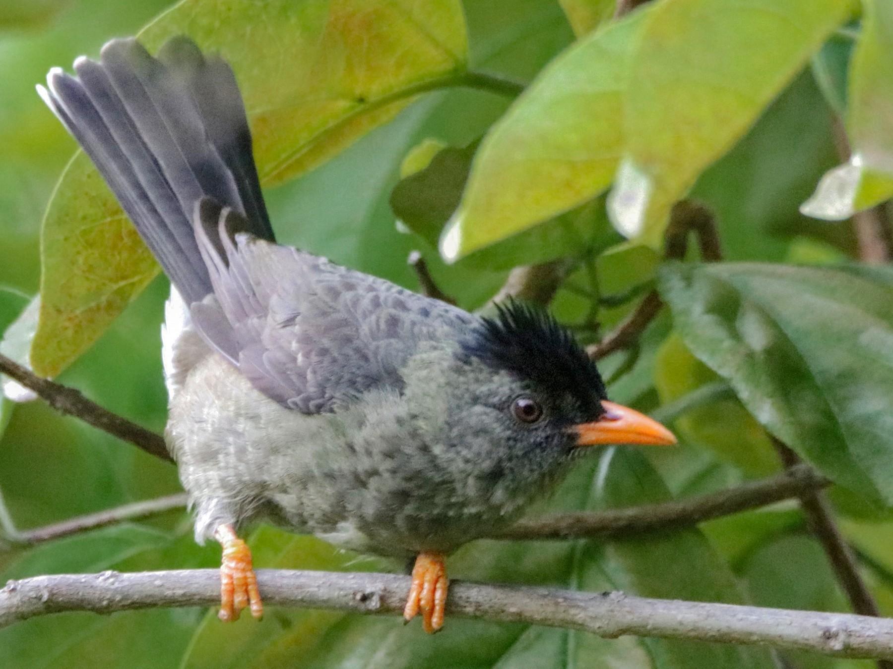 Seychelles Bulbul - Romina Bauer