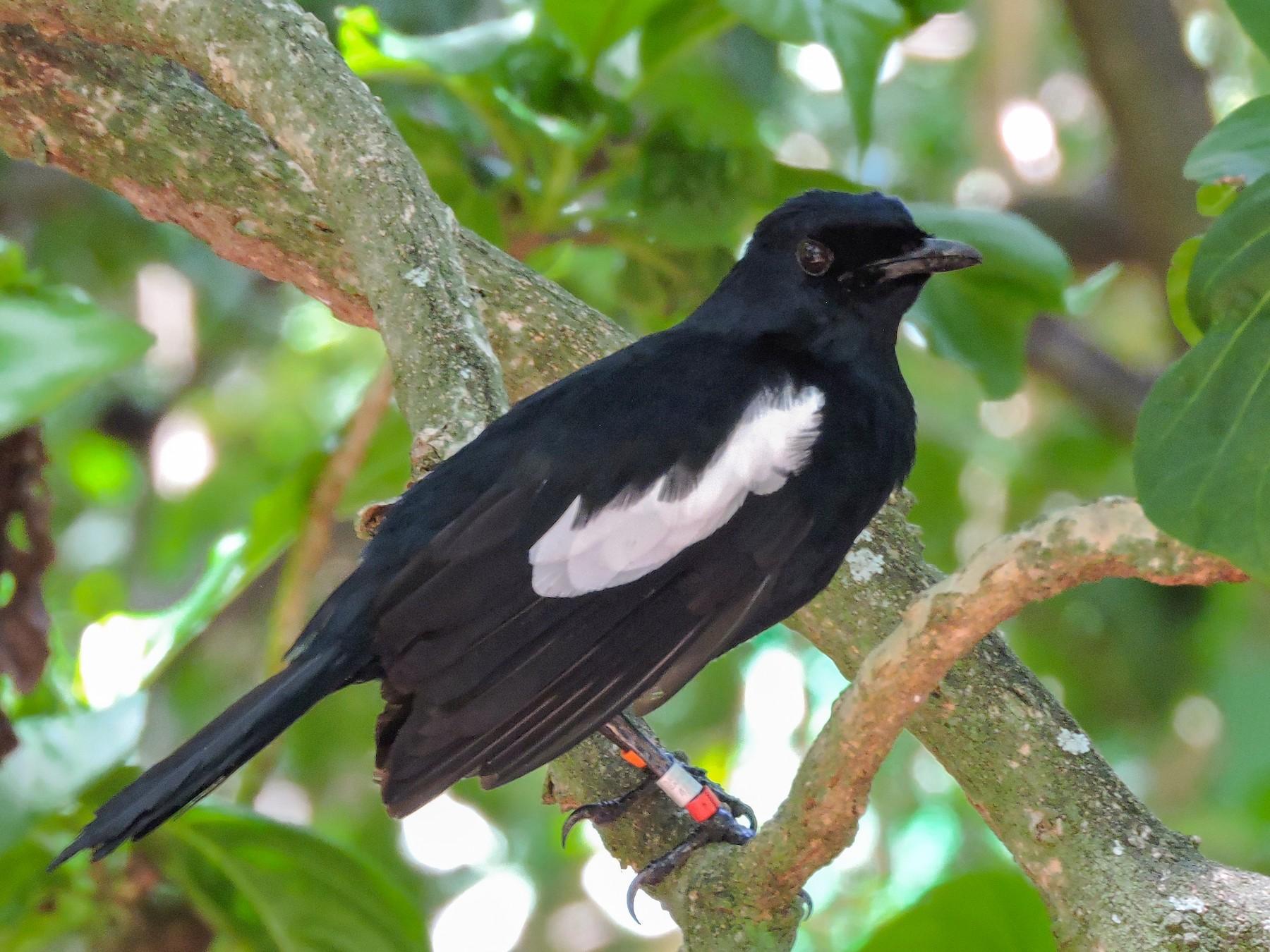 Seychelles Magpie-Robin - Helmut Pfeifenberger