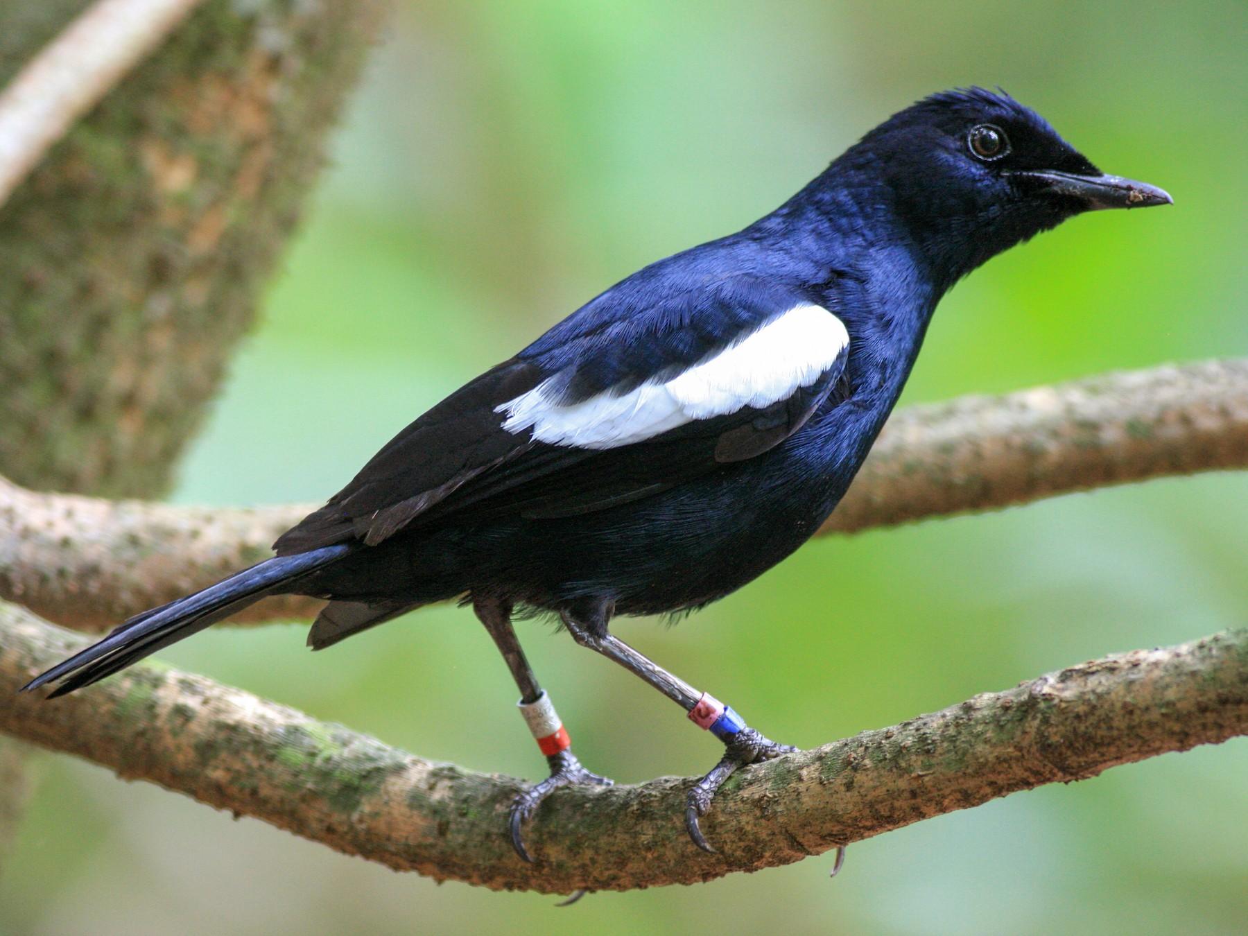 Seychelles Magpie-Robin - Oscar Campbell