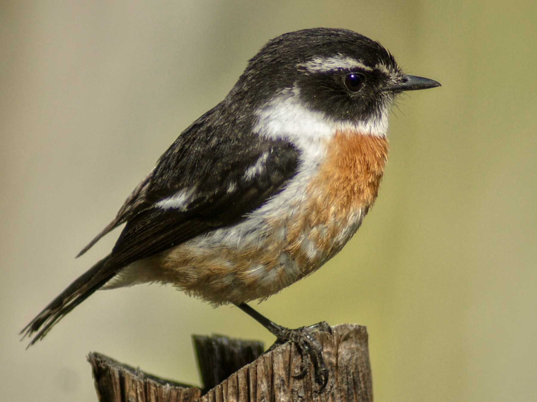Reunion Stonechat - ANTHONY VILLAUME