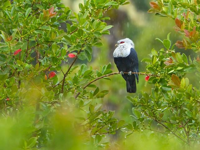 Comoro Blue-Pigeon - Dubi Shapiro