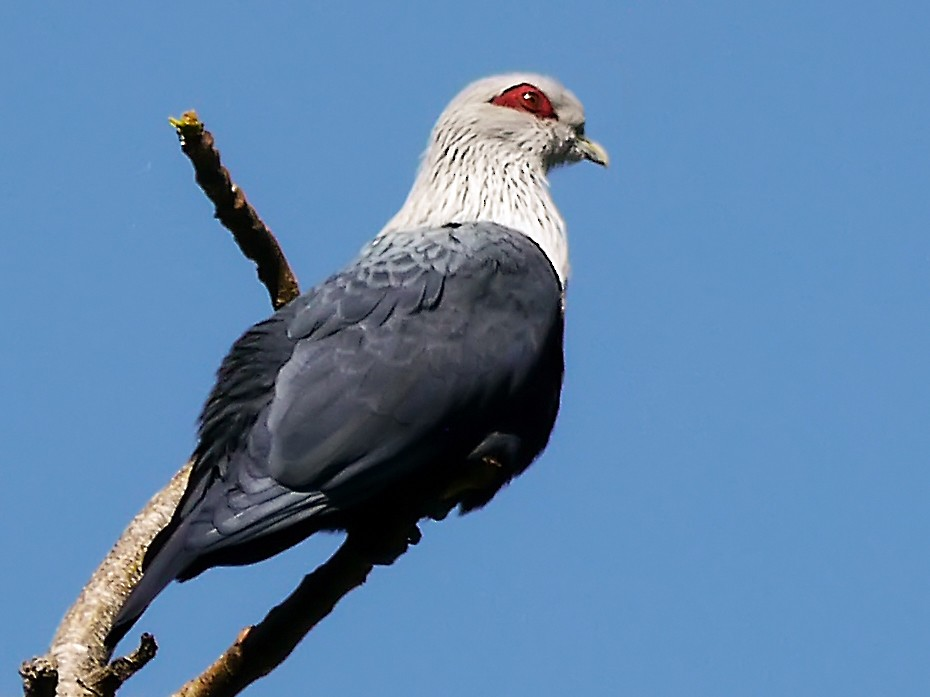 Comoro Blue-Pigeon - Nathalie SANTA MARIA