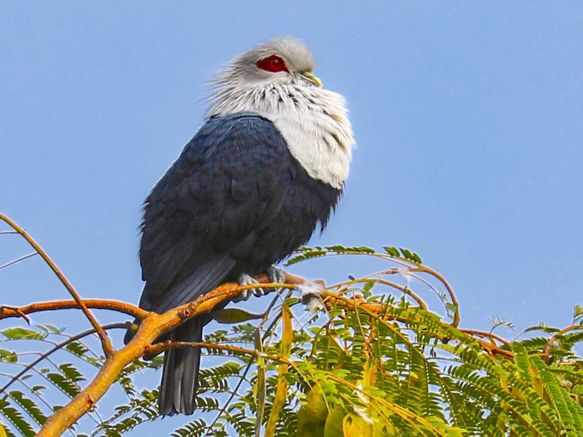 Comoro Blue-Pigeon - Philip Boyle