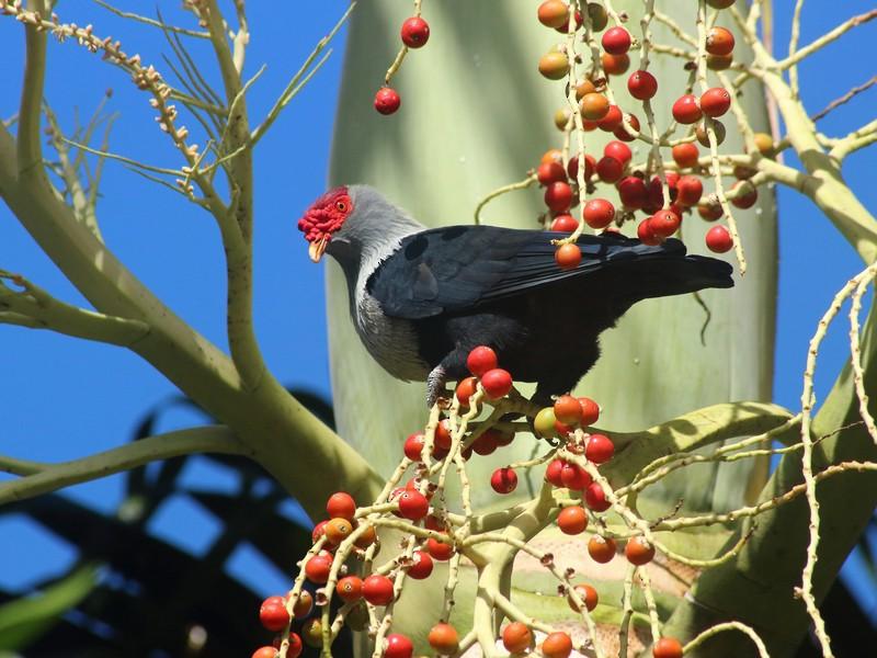Seychelles Blue-Pigeon - Rémi Bigonneau