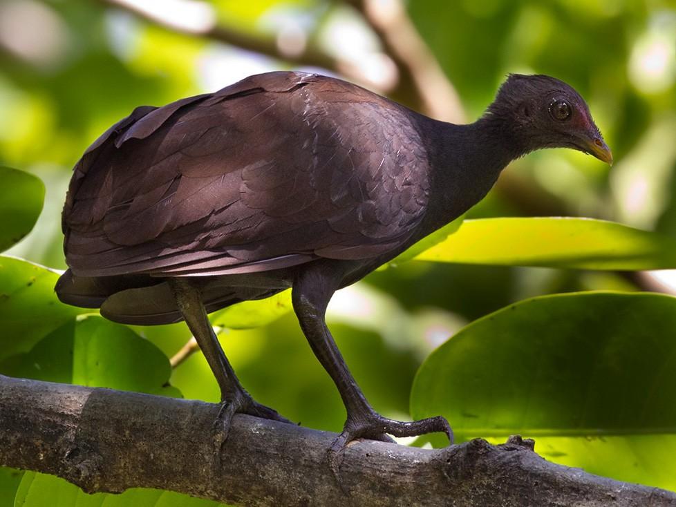 Melanesian Scrubfowl - Lars Petersson