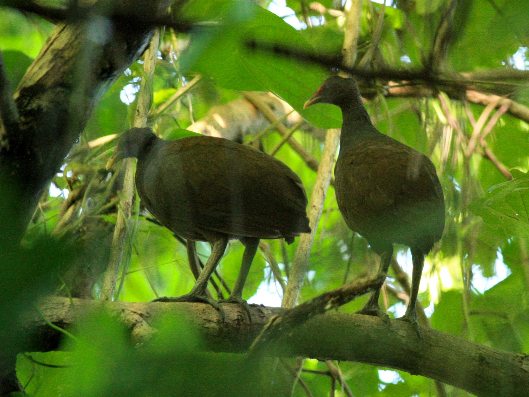 Melanesian Scrubfowl - Vivek Menon