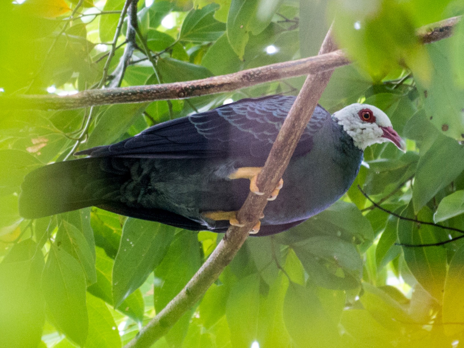Yellow-legged Pigeon - John C. Mittermeier