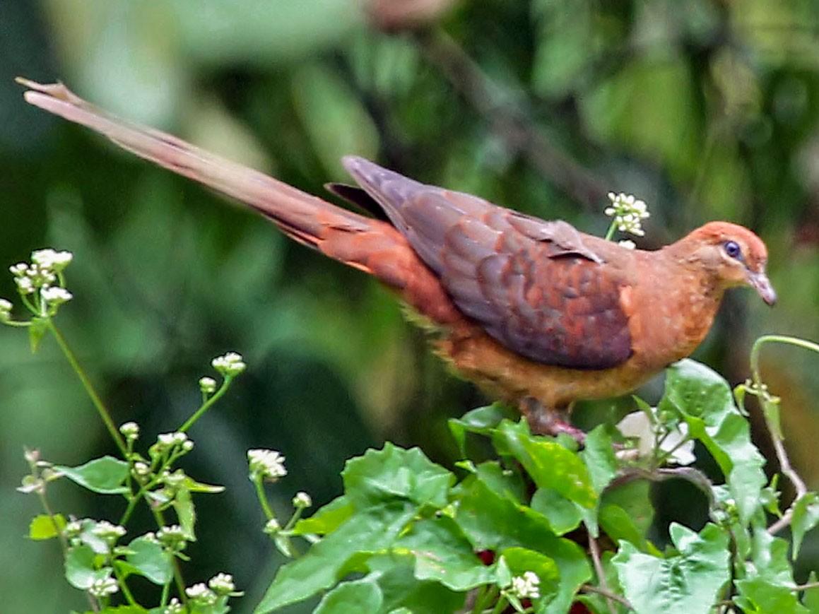 Amboyna Cuckoo-Dove - Phillip Edwards