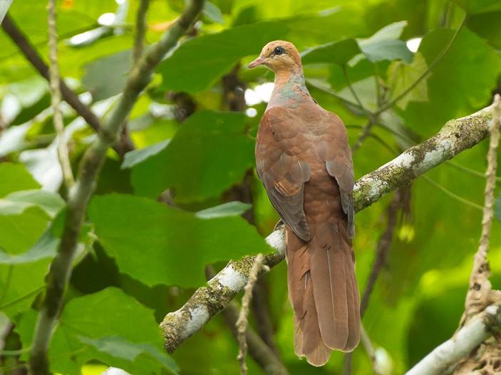 Amboyna Cuckoo-Dove - Frédéric PELSY