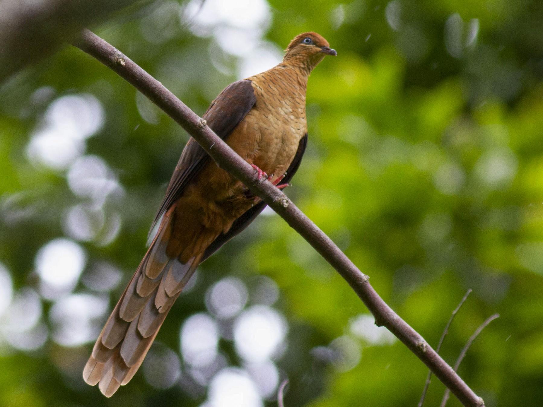 Amboyna Cuckoo-Dove - Benjamin Van Doren