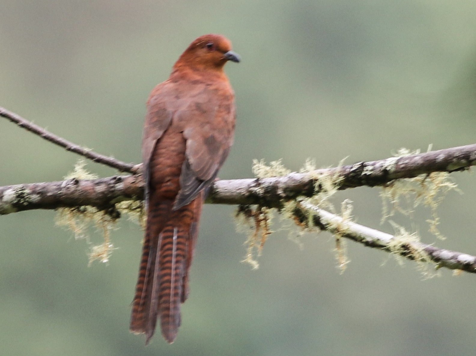 Black-billed Cuckoo-Dove - Chris Wiley