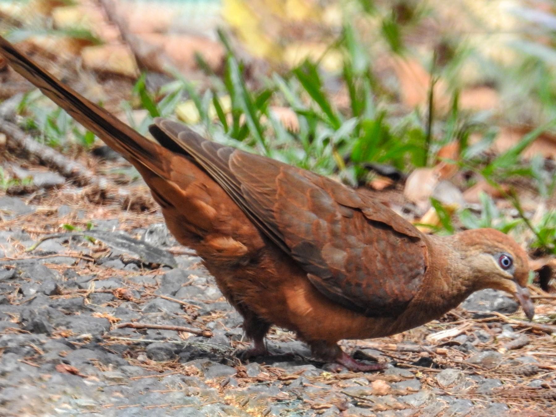 Black-billed Cuckoo-Dove - Michael Grunwell