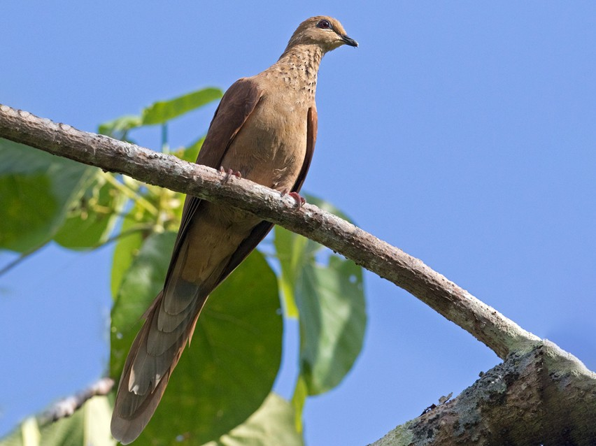 Mackinlay's Cuckoo-Dove - Lars Petersson