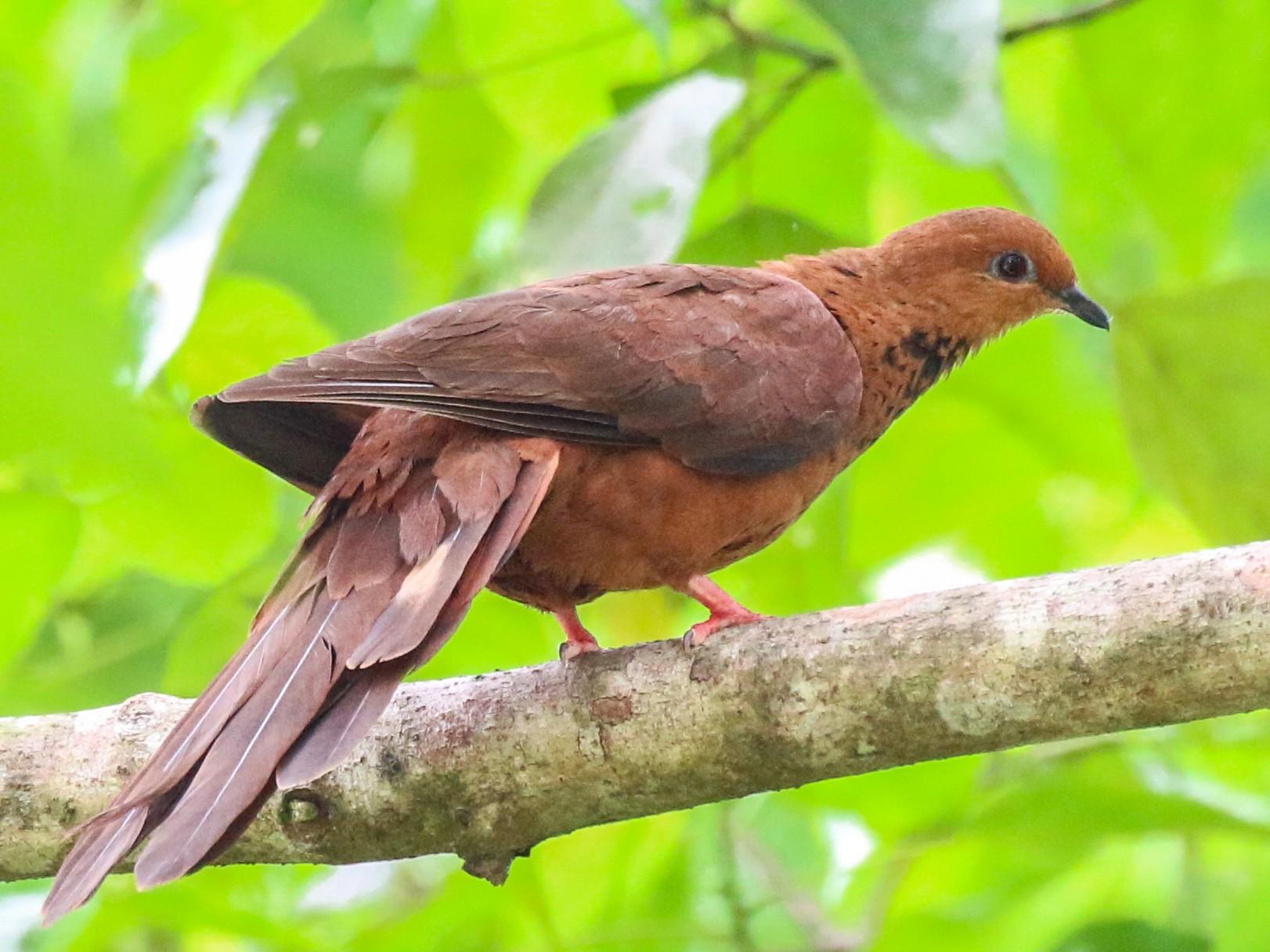 Mackinlay's Cuckoo-Dove - Oscar Campbell