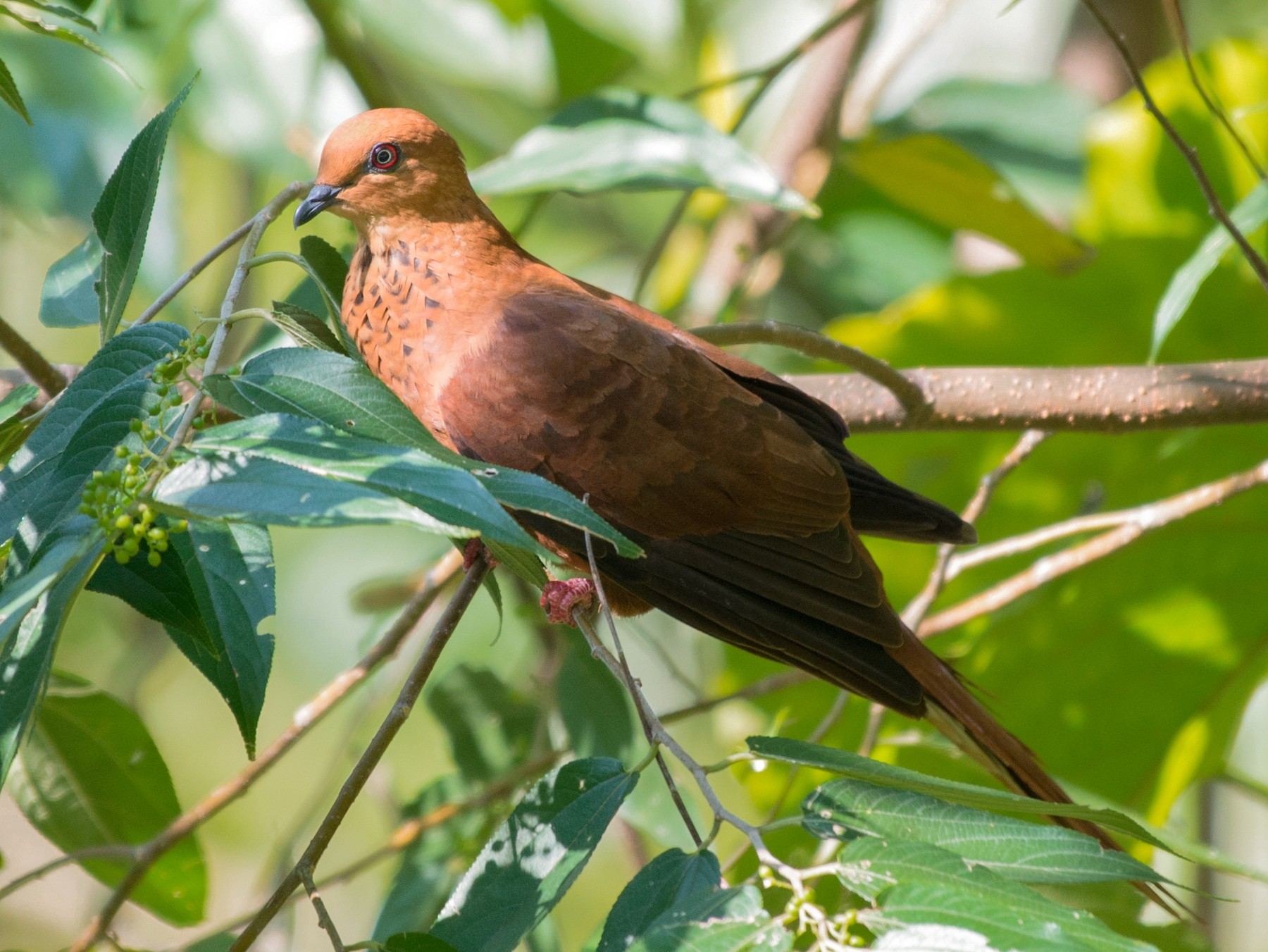 Mackinlay's Cuckoo-Dove - John C. Mittermeier
