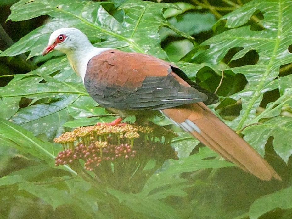 Great Cuckoo-Dove - Arco Huang