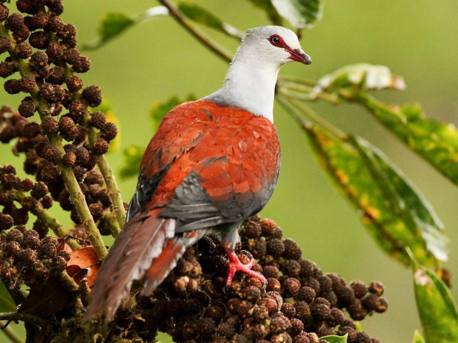 Great Cuckoo-Dove - Markus Lilje