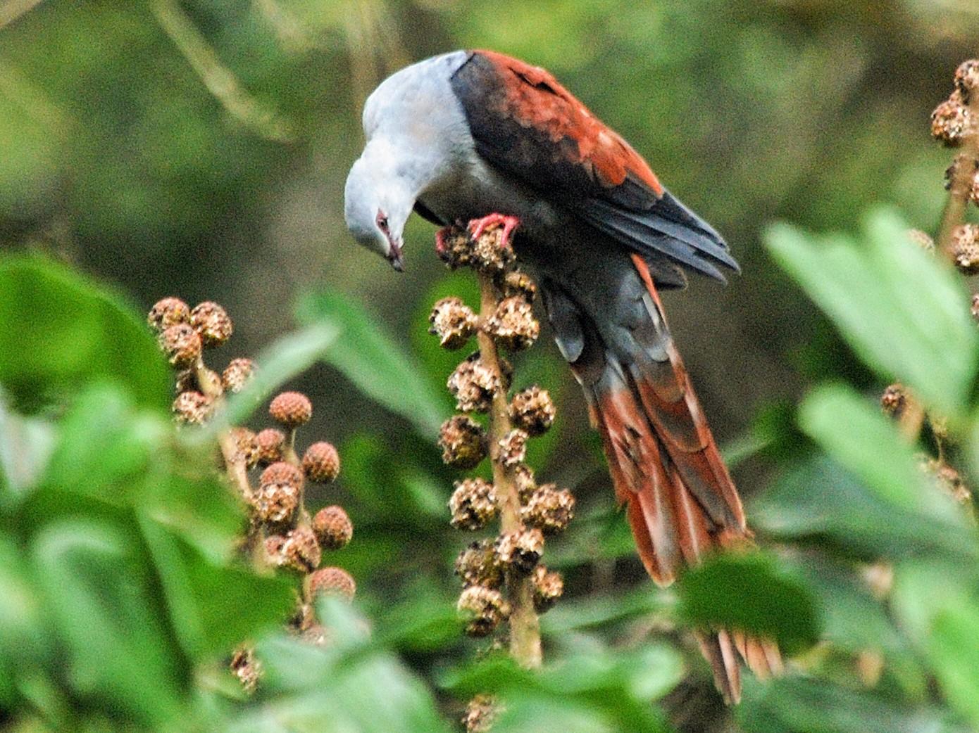 Great Cuckoo-Dove - Nigel Voaden