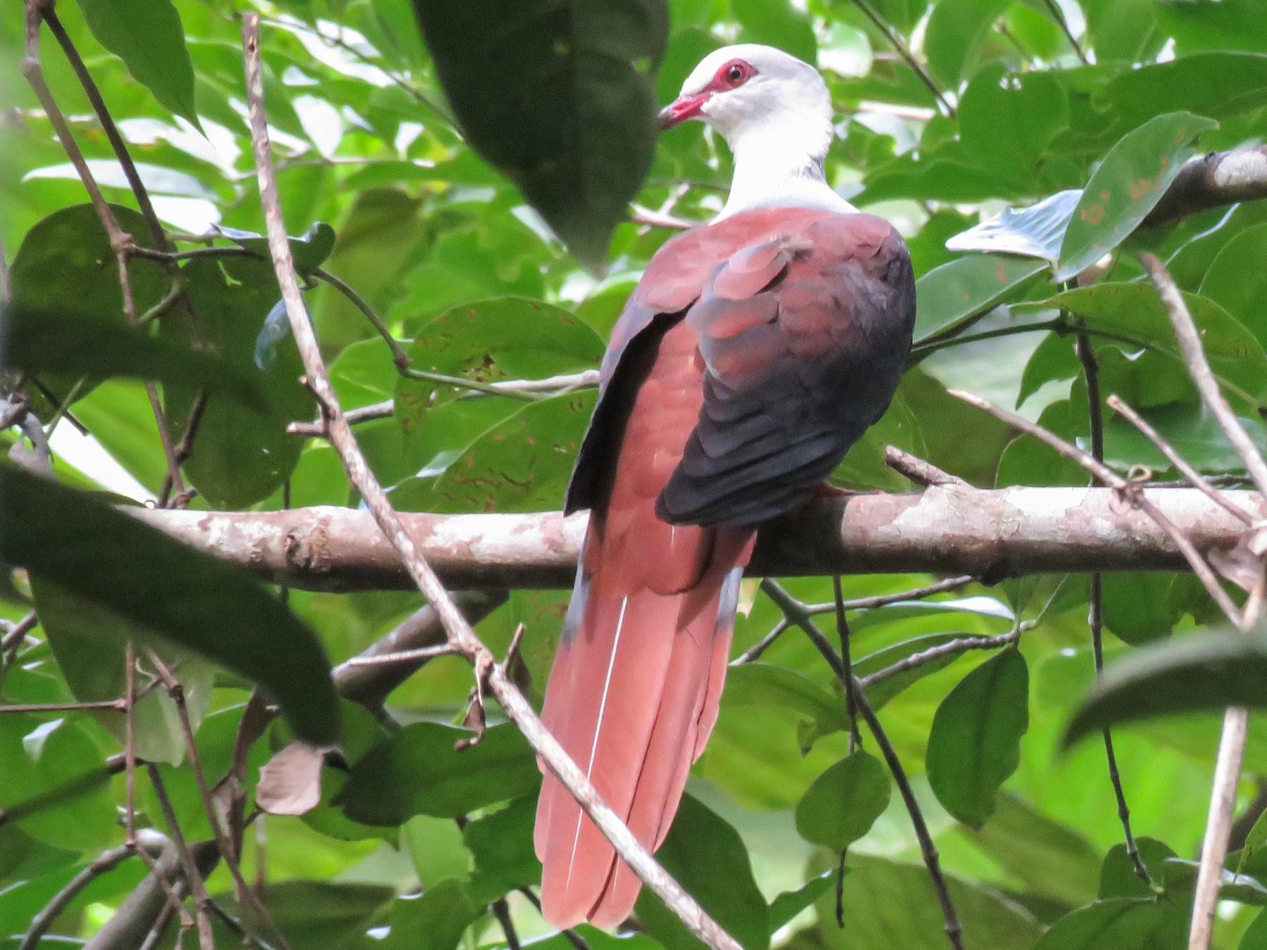 Great Cuckoo-Dove - Simon Thornhill
