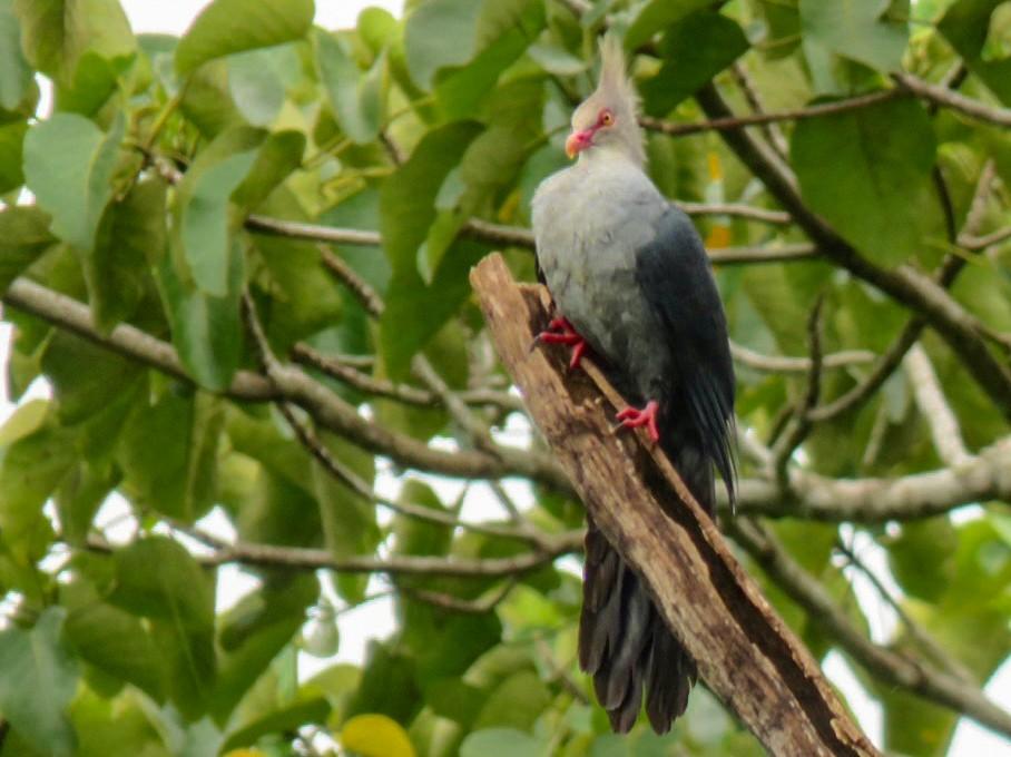 Crested Cuckoo-Dove - Phil Gregory | Sicklebill Safaris | www.birder.travel