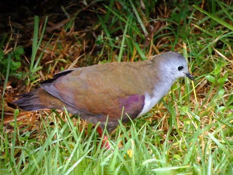 Bronze Ground Dove - Lizabeth Southworth