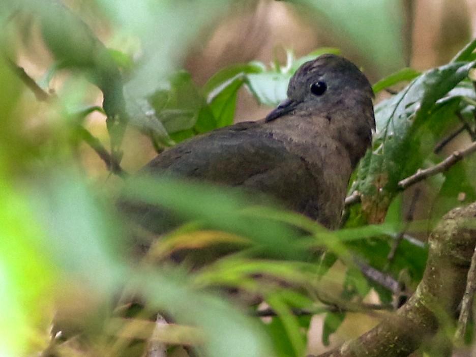 Bronze Ground Dove - Chris Wiley