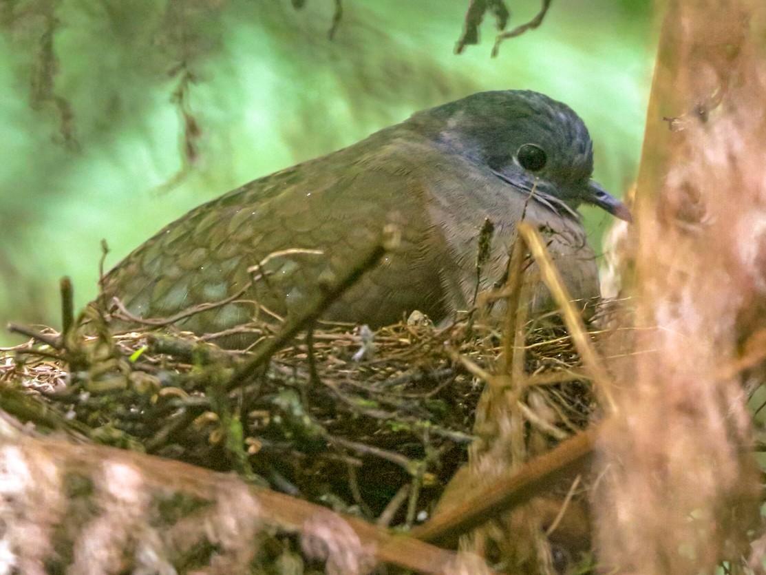 Bronze Ground Dove - Nigel Voaden