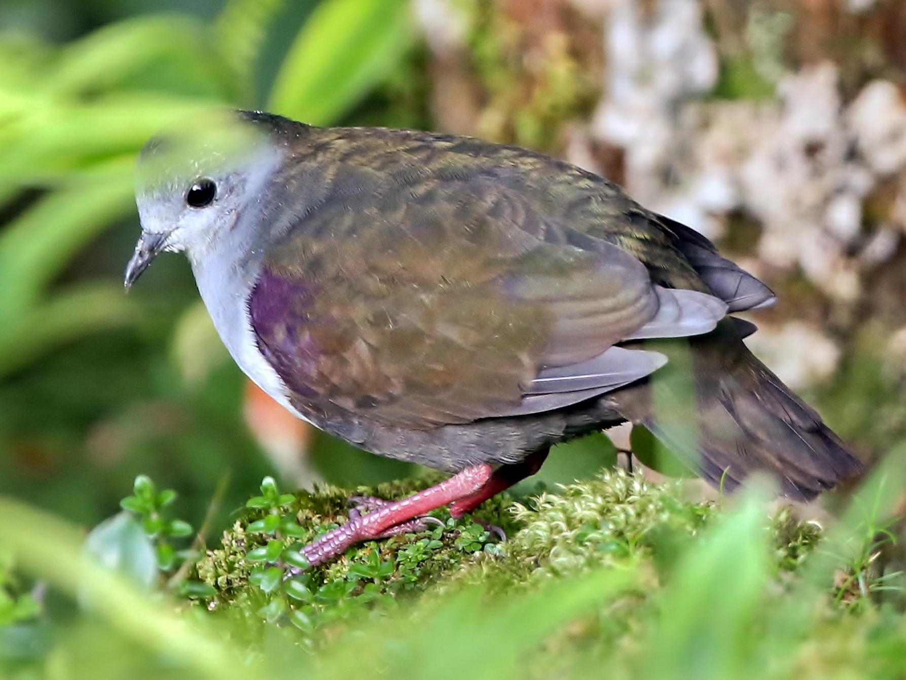 Bronze Ground Dove - Dick Jenkin