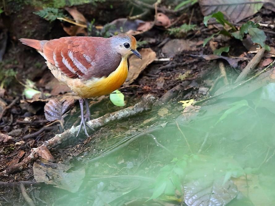 Cinnamon Ground Dove - Carlos Bocos