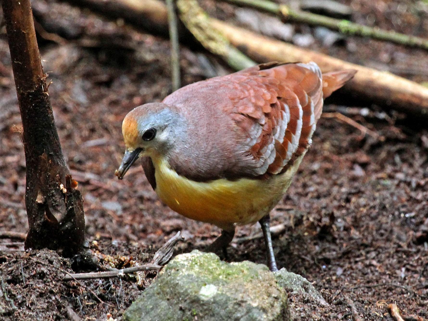 Cinnamon Ground Dove - Phillip Edwards