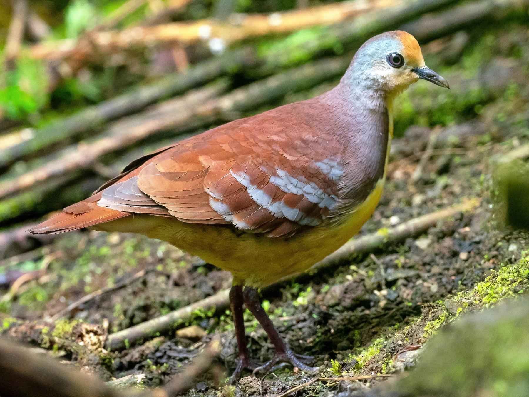 Cinnamon Ground Dove - Phil Chaon