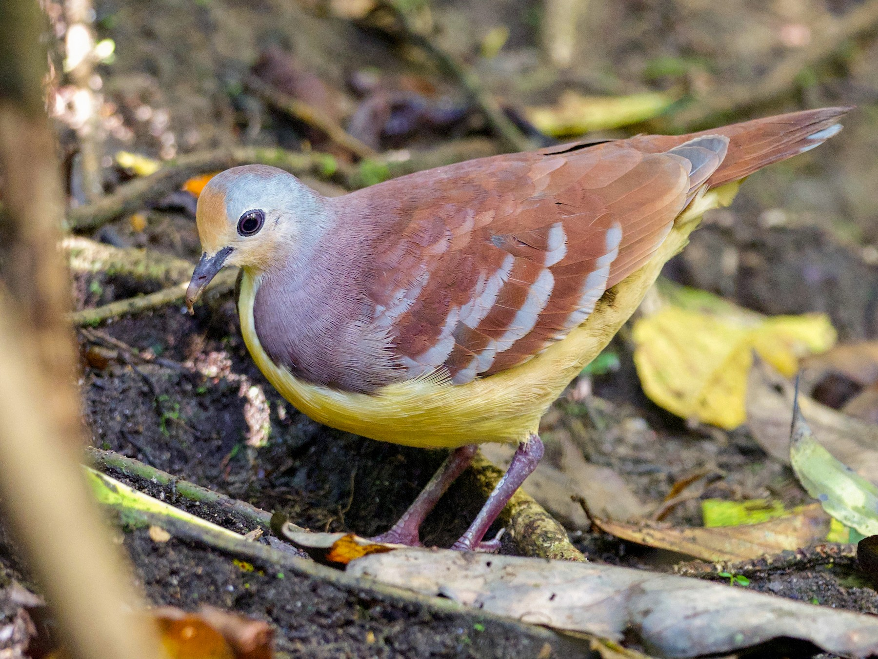 Cinnamon Ground Dove - Arco Huang