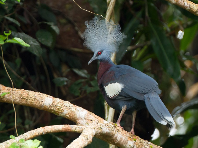 Sclater's Crowned-Pigeon - Frédéric PELSY