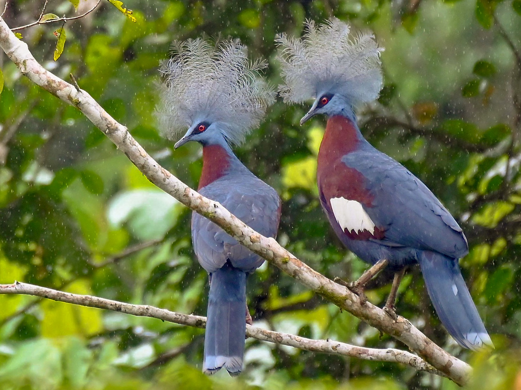 Sclater's Crowned-Pigeon - Jacques Erard