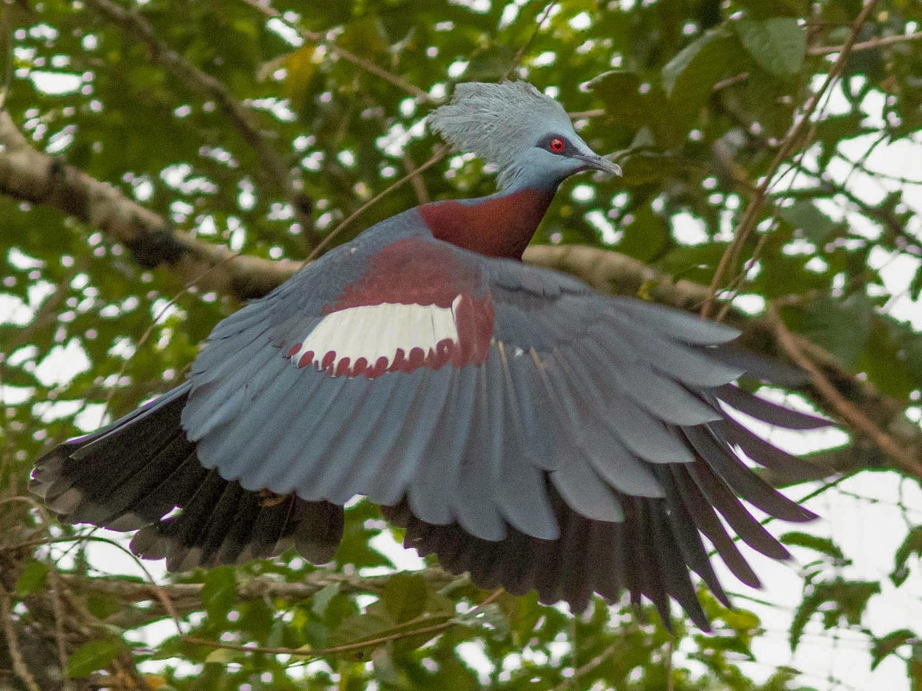 Sclater's Crowned-Pigeon - Doug Gochfeld
