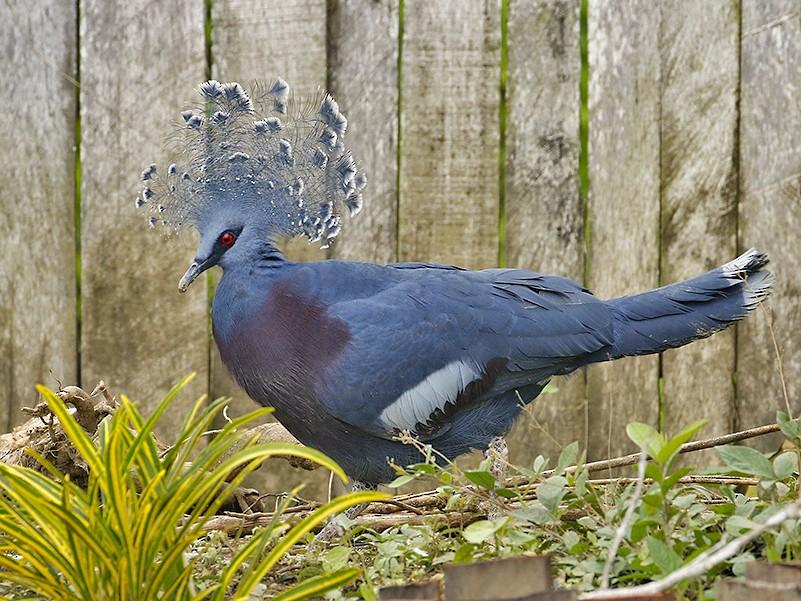 Victoria Crowned-Pigeon - Peter  Ericsson