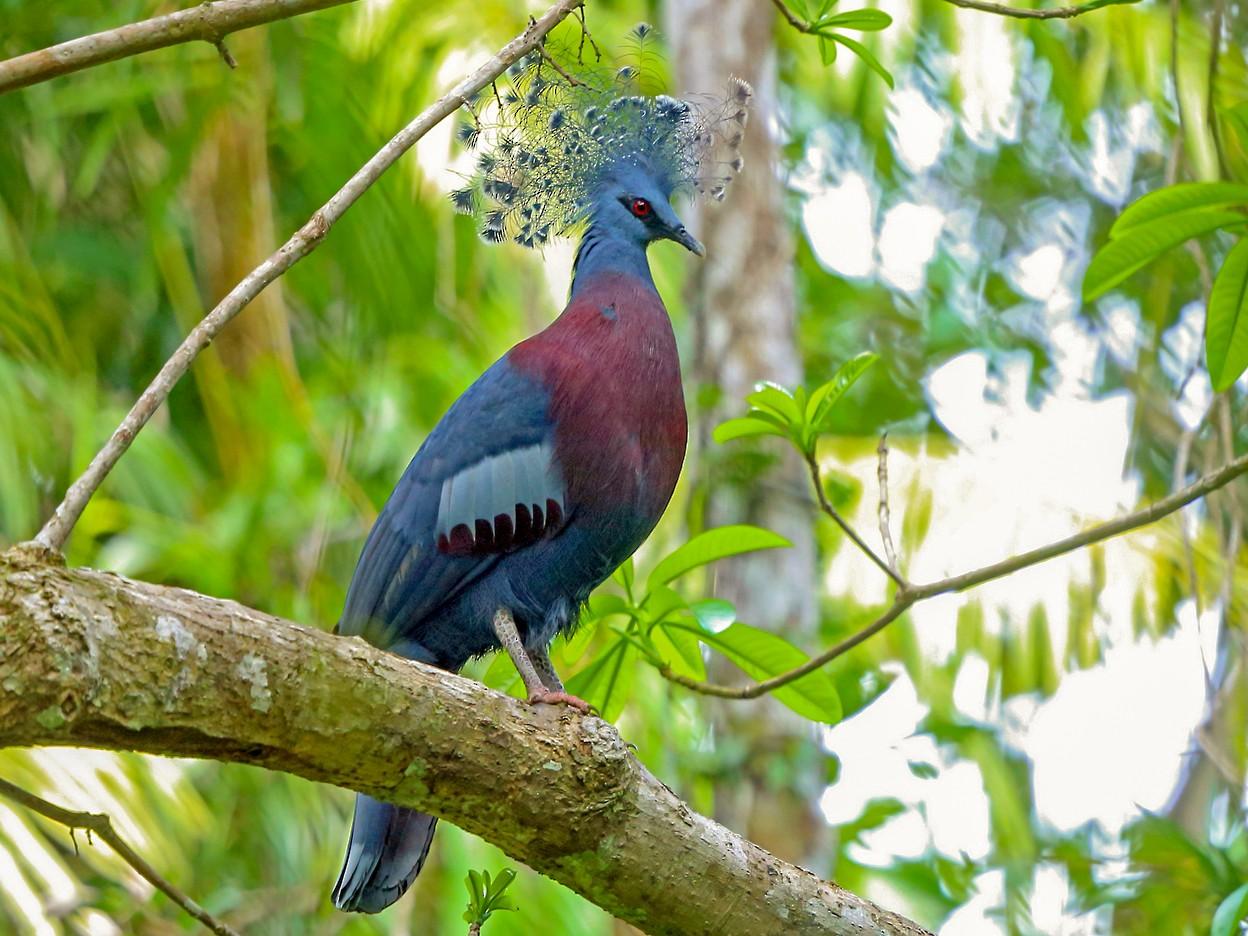 Victoria Crowned-Pigeon - Nigel Voaden