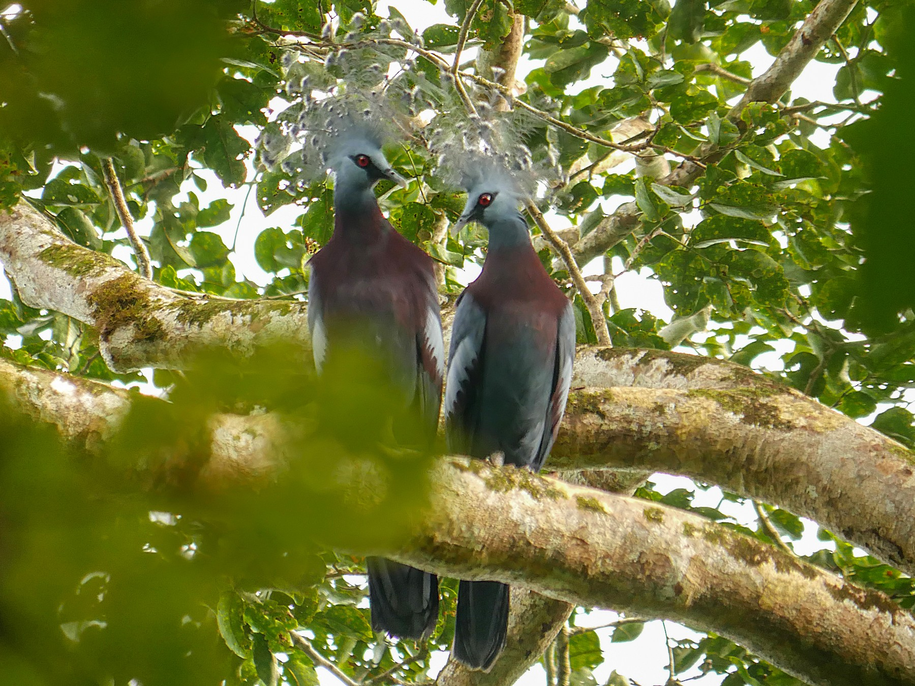 Victoria Crowned-Pigeon - Steve Young