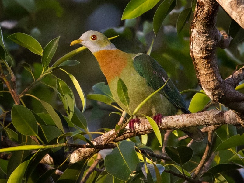 Pink-spotted Fruit-Dove - Lars Petersson