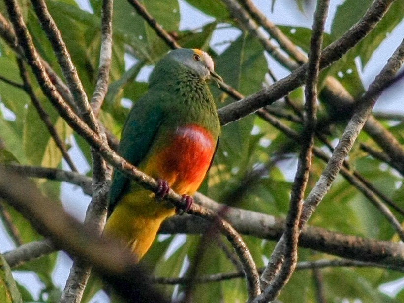 Coroneted Fruit-Dove - Leighton Reid